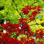 piante giapponesi