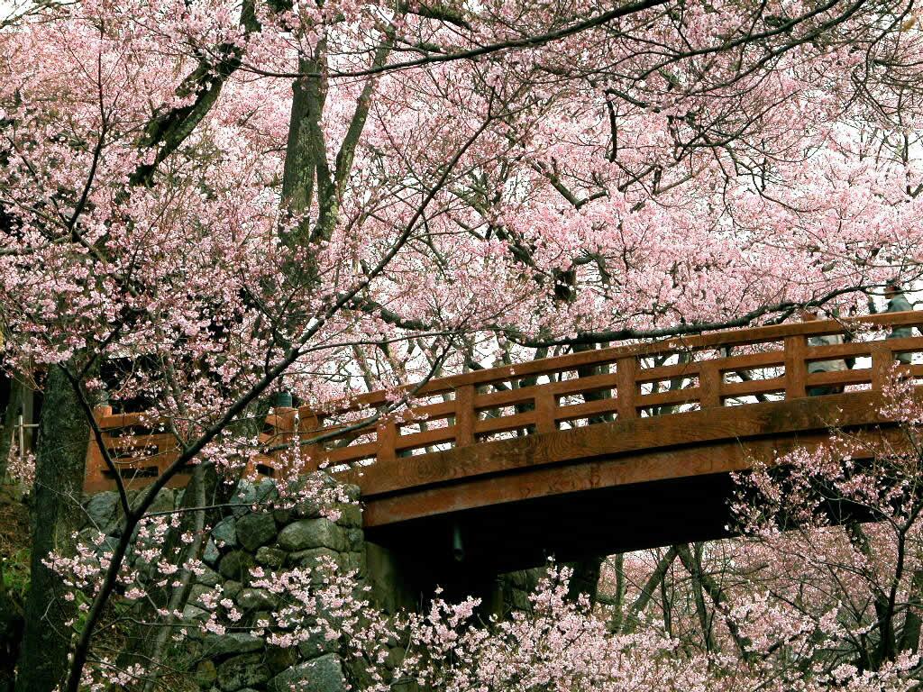 cherry_blossom_1024x768-671074