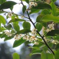 Cleyera-japonica-nobilissima-specie-giapponese-che-Thunberg-nominò-in-onore-di-Cleyer