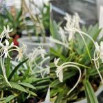 Orchidee giapponesi